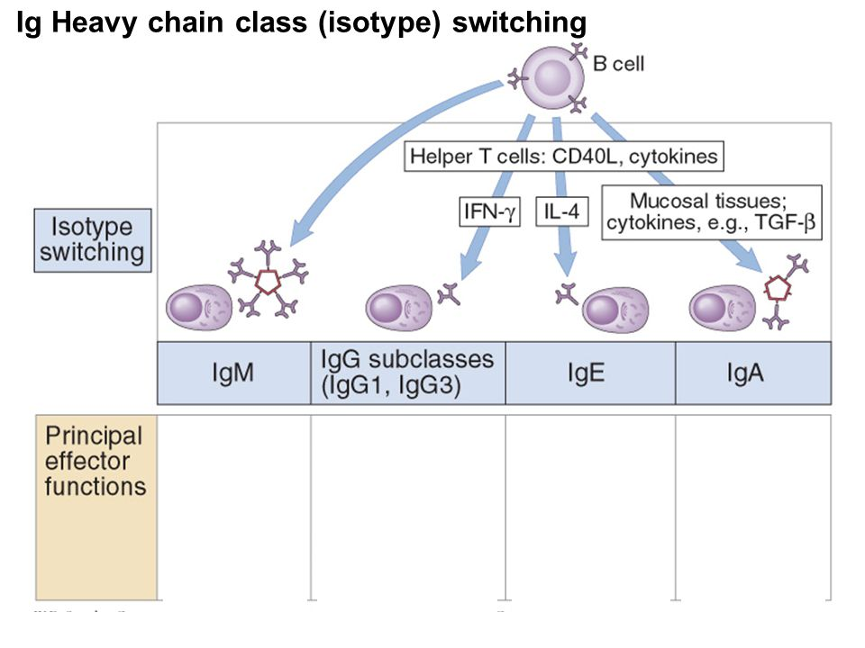 Ig Heavy chain class (isotype) switching