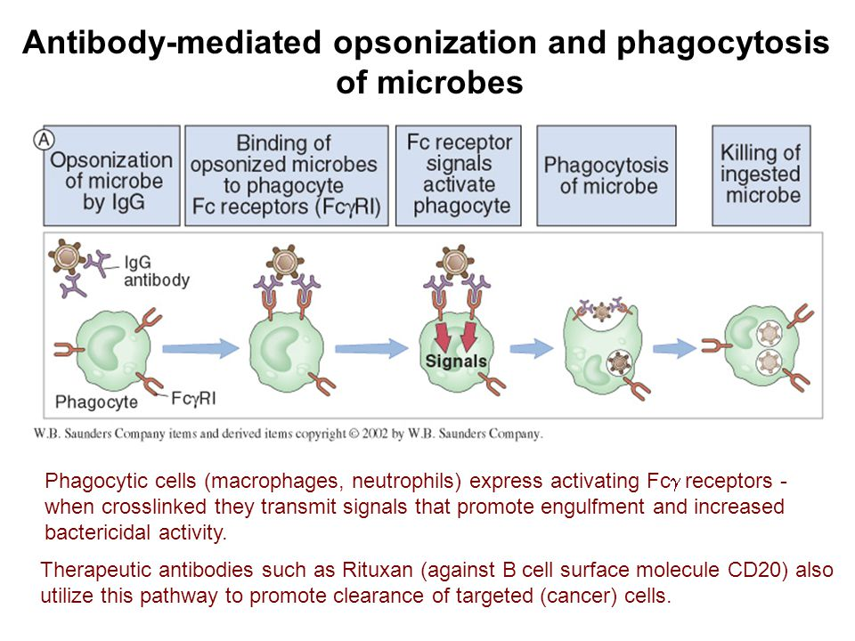 Antibody-mediated opsonization and phagocytosis