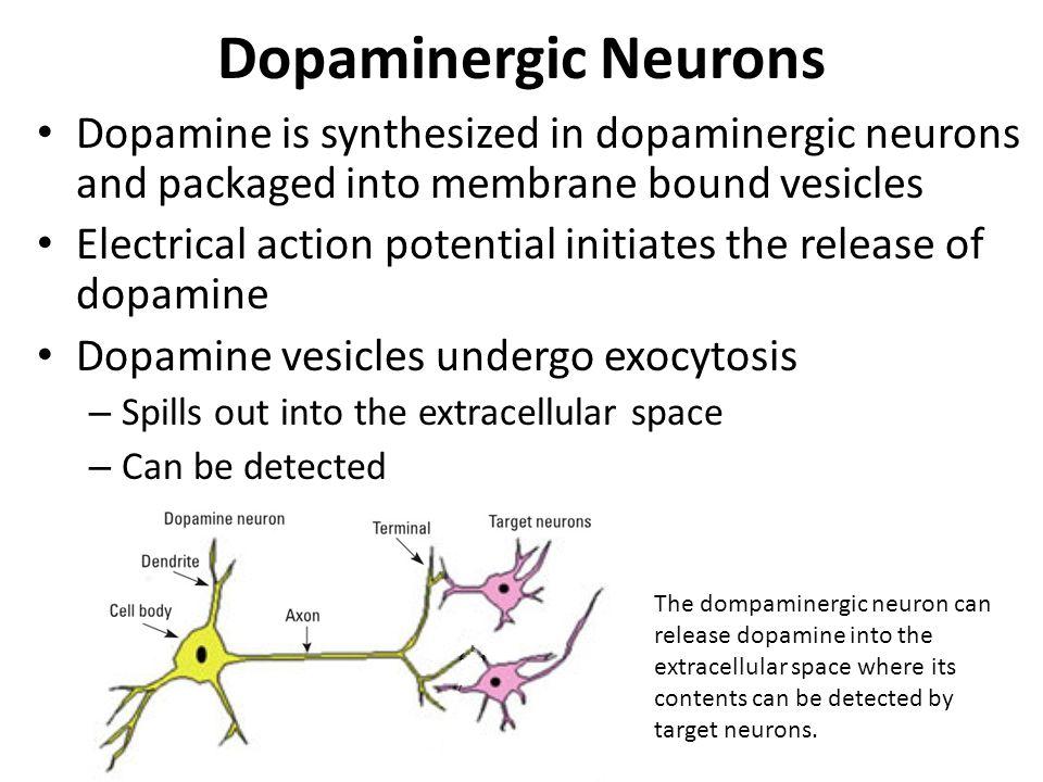 Dopaminergic Neurons Dopamine is synthesized in dopaminergic neurons and packaged into membrane bound vesicles.