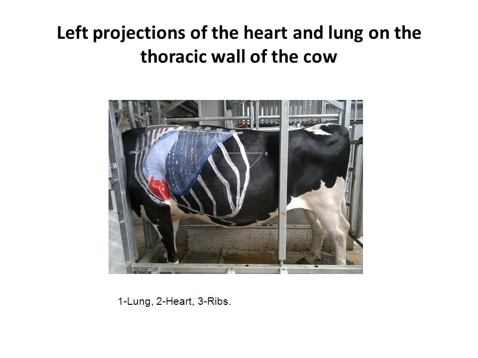 Left projections of the heart and lung on the thoracic wall of the cow