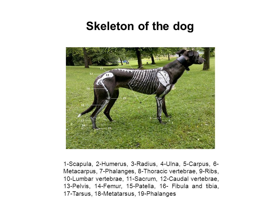 Skeleton of the dog