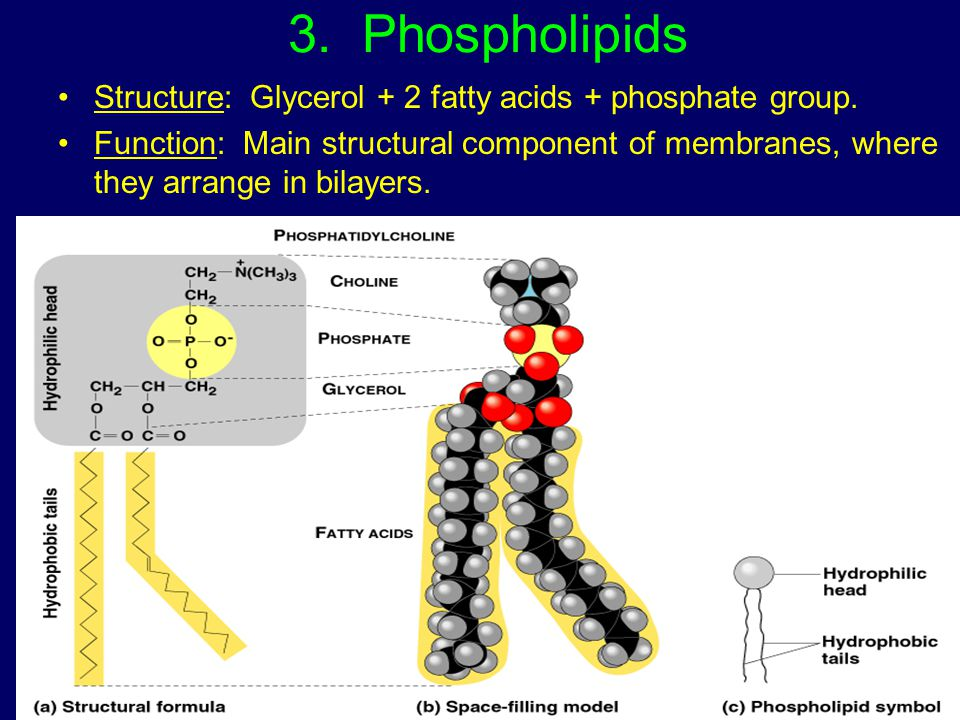 3. Phospholipids Structure: Glycerol + 2 fatty acids + phosphate group.