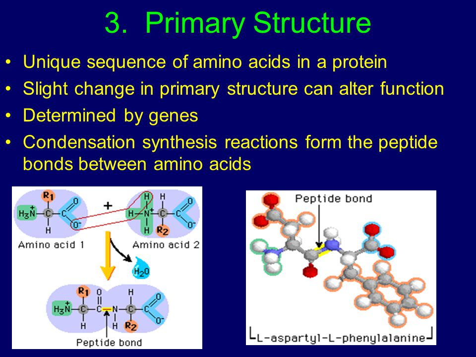 3. Primary Structure Unique sequence of amino acids in a protein