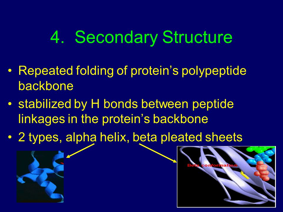 4. Secondary Structure Repeated folding of protein's polypeptide backbone. stabilized by H bonds between peptide linkages in the protein's backbone.