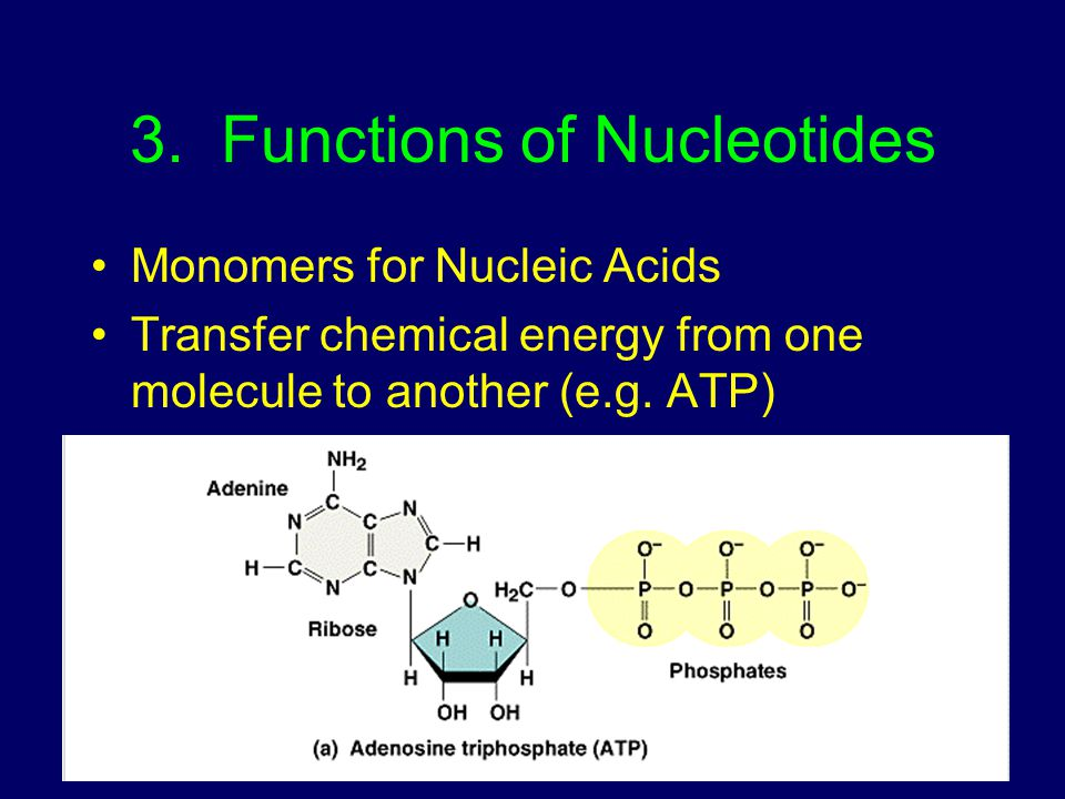 3. Functions of Nucleotides