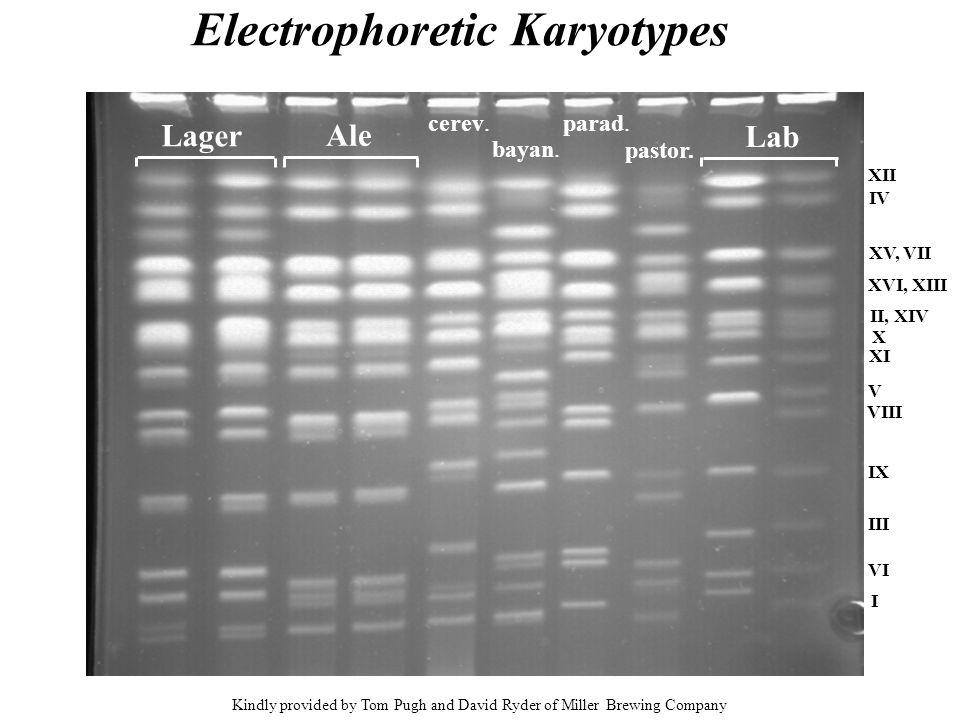 Electrophoretic Karyotypes