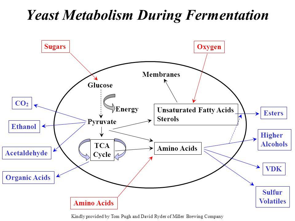 Yeast Metabolism During Fermentation