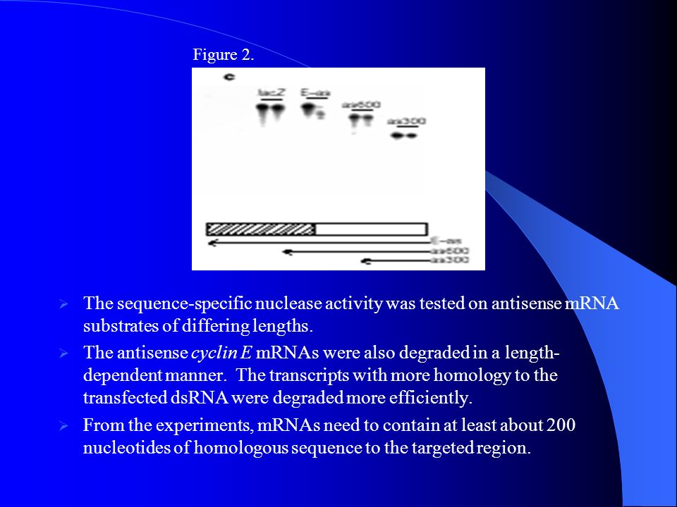 Figure 2. The sequence-specific nuclease activity was tested on antisense mRNA substrates of differing lengths.