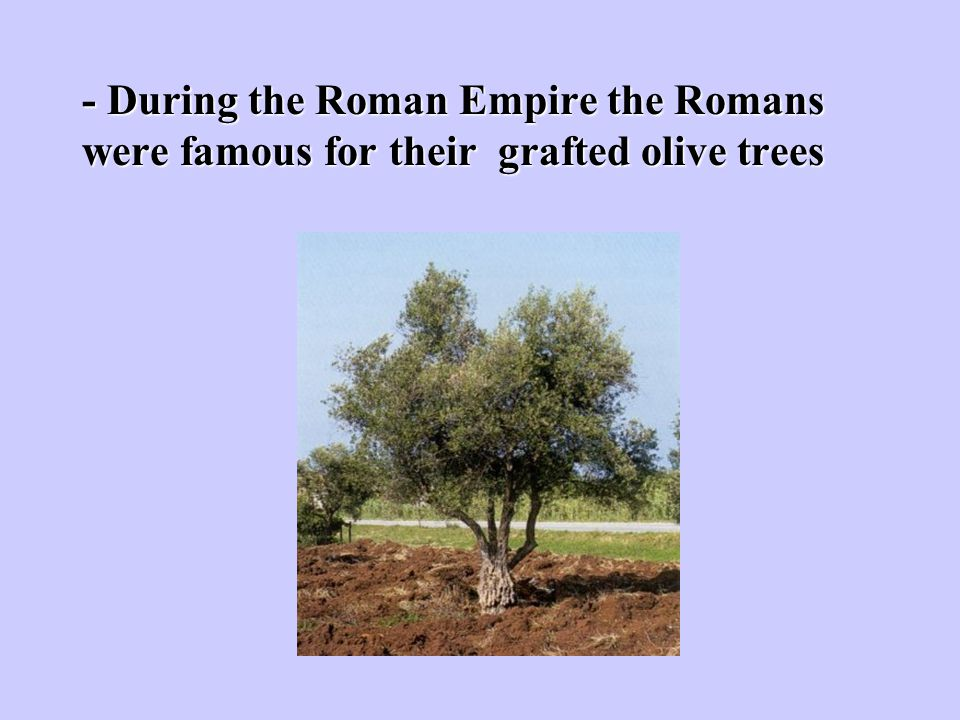 - During the Roman Empire the Romans were famous for their grafted olive trees