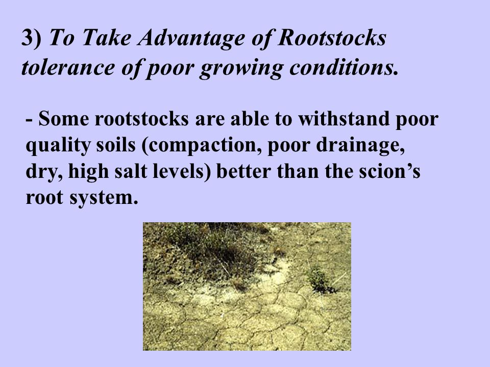 3) To Take Advantage of Rootstocks tolerance of poor growing conditions.