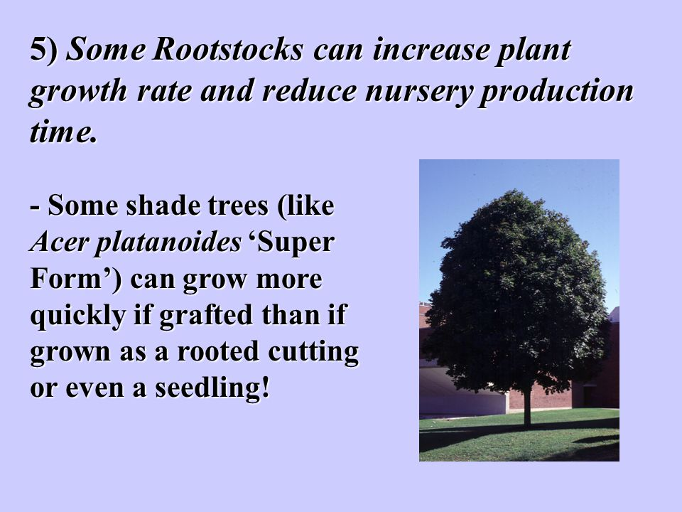5) Some Rootstocks can increase plant growth rate and reduce nursery production time.