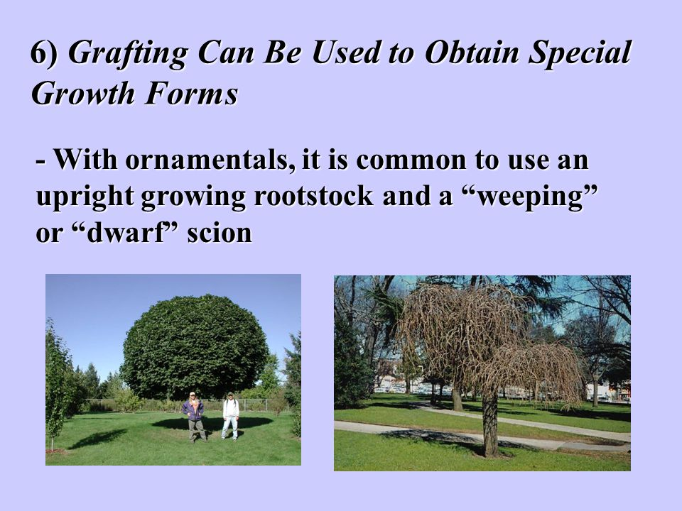 6) Grafting Can Be Used to Obtain Special Growth Forms