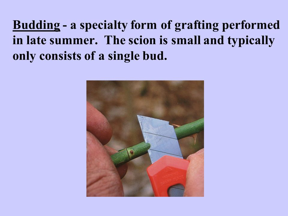 Budding - a specialty form of grafting performed in late summer