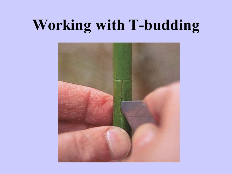 Working with T-budding