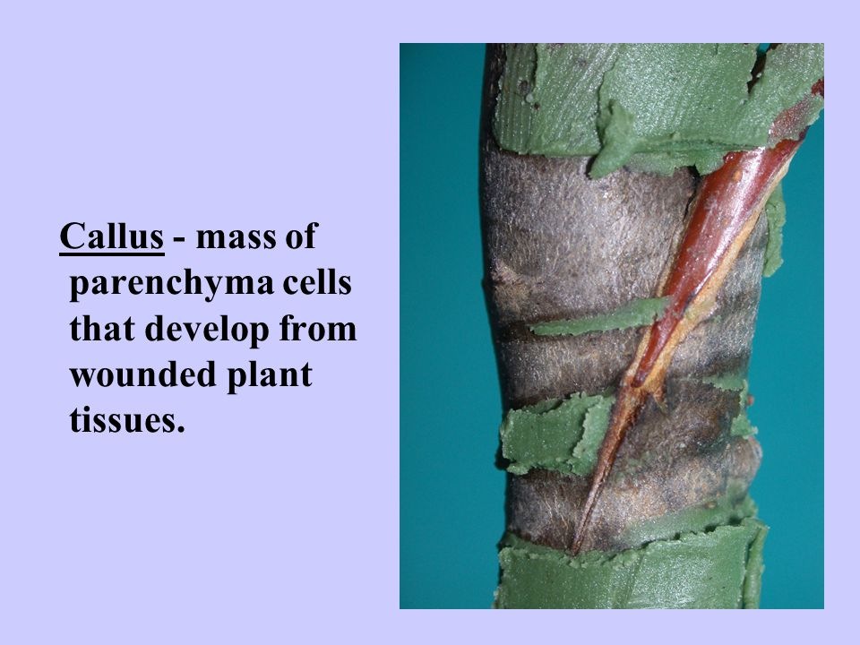 Callus - mass of parenchyma cells that develop from wounded plant tissues.