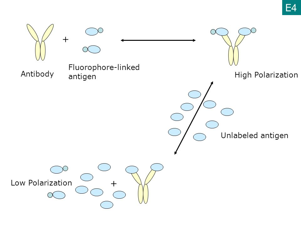 E4 + + Fluorophore-linked antigen Antibody High Polarization