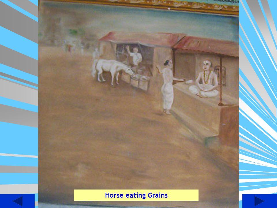 Horse eating Grains
