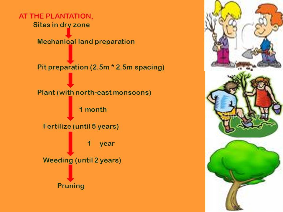 AT THE PLANTATION, Sites in dry zone Mechanical land preparation Pit preparation (2.5m * 2.5m spacing) Plant (with north-east monsoons) 1 month Fertilize (until 5 years) 1 year Weeding (until 2 years) Pruning