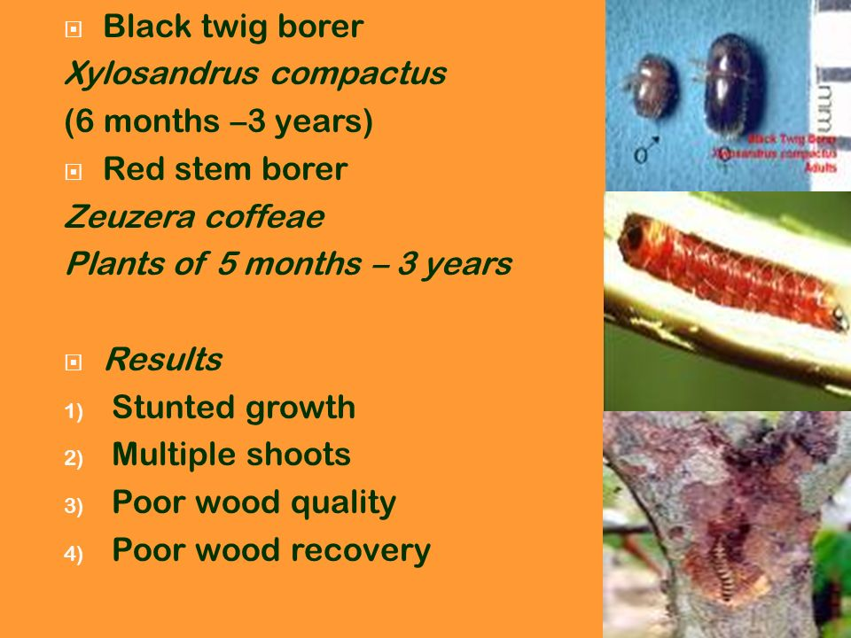 Black twig borer Xylosandrus compactus. (6 months –3 years) Red stem borer. Zeuzera coffeae. Plants of 5 months – 3 years.