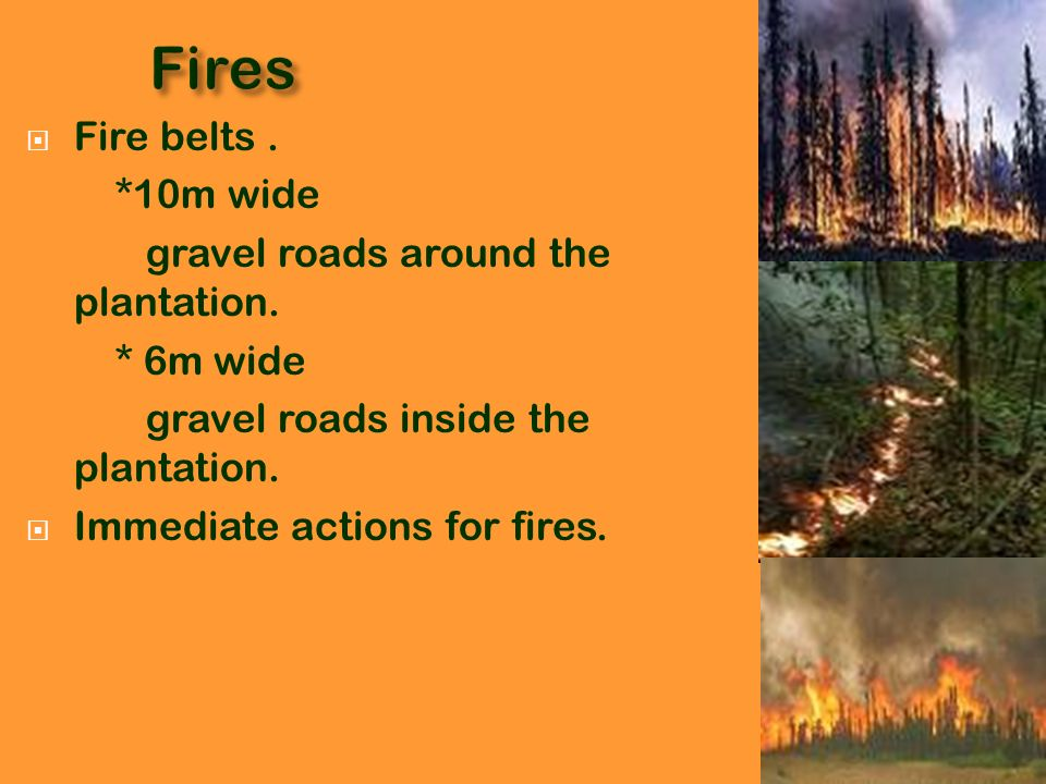 Fires Fire belts . *10m wide gravel roads around the plantation.