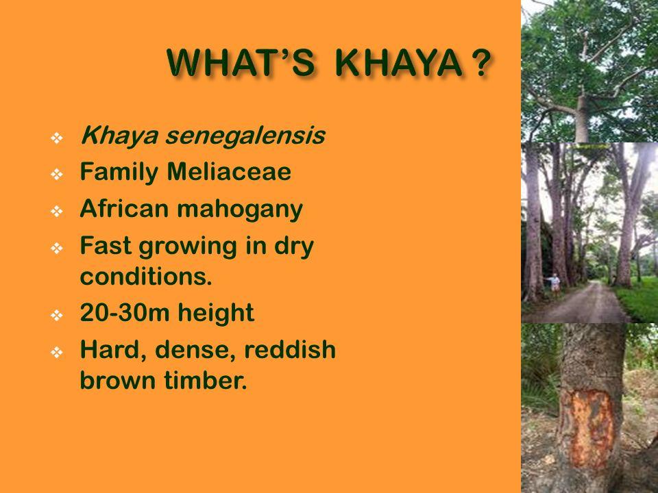 WHAT'S KHAYA Khaya senegalensis Family Meliaceae African mahogany