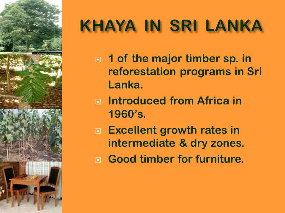 KHAYA IN SRI LANKA 1 of the major timber sp. in reforestation programs in Sri Lanka. Introduced from Africa in 1960's.