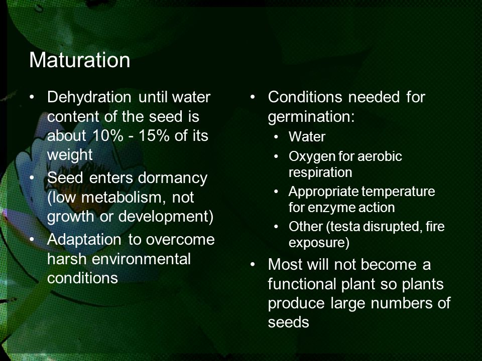 Maturation Dehydration until water content of the seed is about 10% - 15% of its weight.