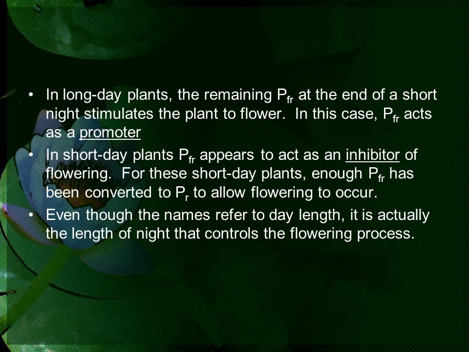 In long-day plants, the remaining Pfr at the end of a short night stimulates the plant to flower. In this case, Pfr acts as a promoter