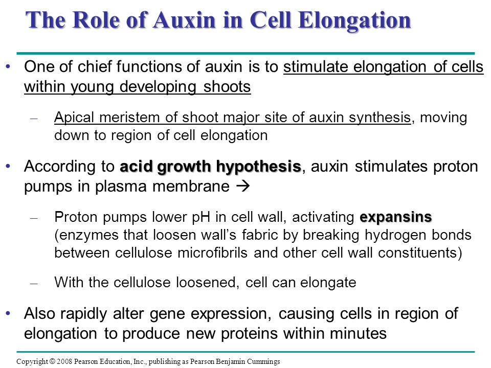 The Role of Auxin in Cell Elongation