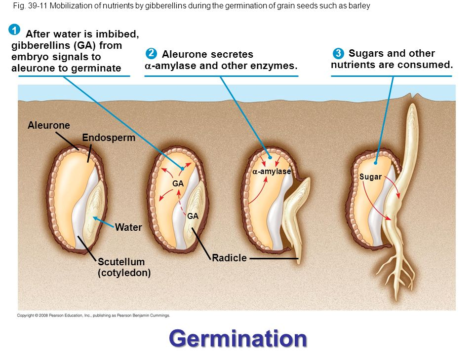 Germination After water is imbibed, gibberellins (GA) from