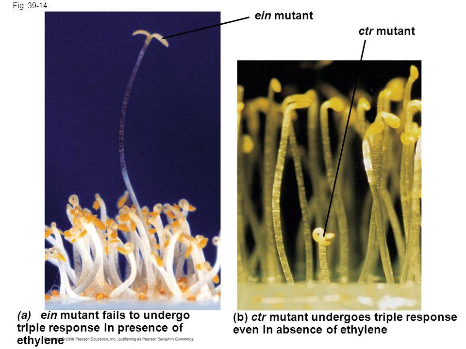 ein mutant fails to undergo triple response in presence of ethylene