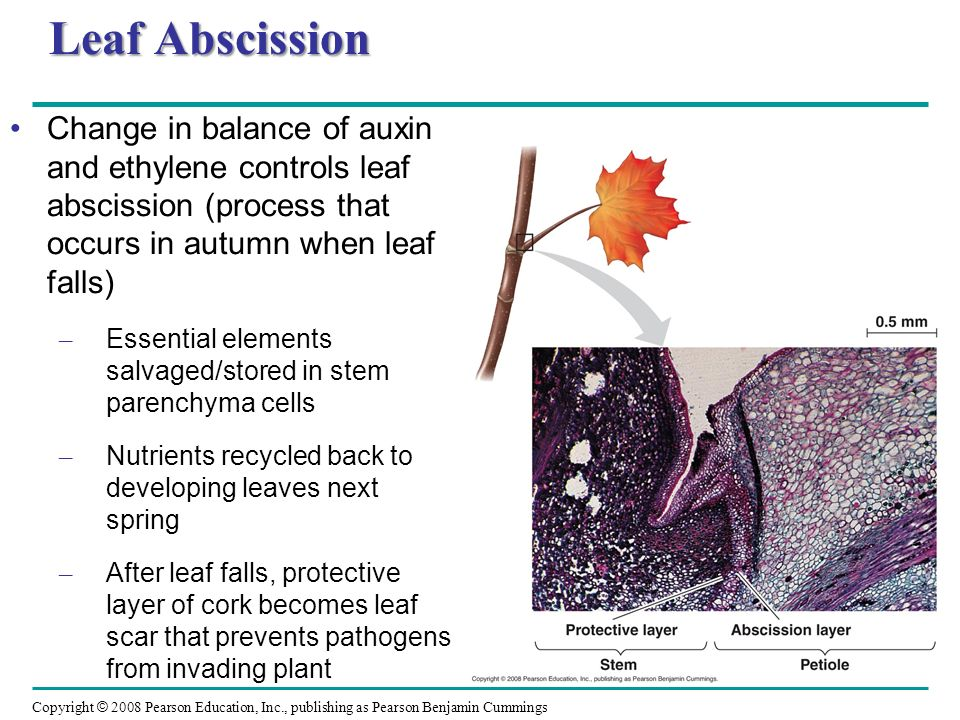 Leaf Abscission Change in balance of auxin and ethylene controls leaf abscission (process that occurs in autumn when leaf falls)