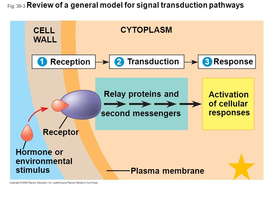 CELL WALL CYTOPLASM 1 Reception 2 Transduction 3 Response