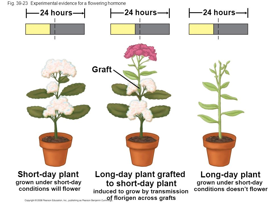 Long-day plant grafted to short-day plant Long-day plant