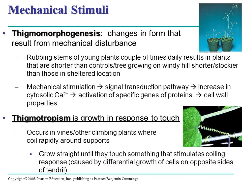 Mechanical Stimuli Thigmomorphogenesis: changes in form that result from mechanical disturbance.