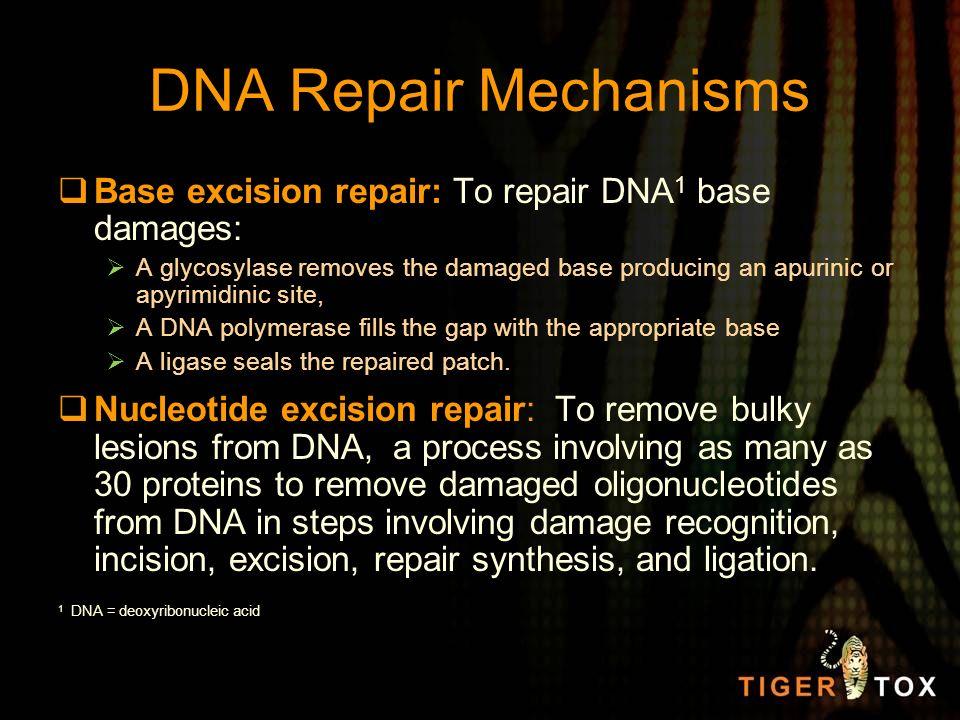 DNA Repair Mechanisms Base excision repair: To repair DNA1 base damages: