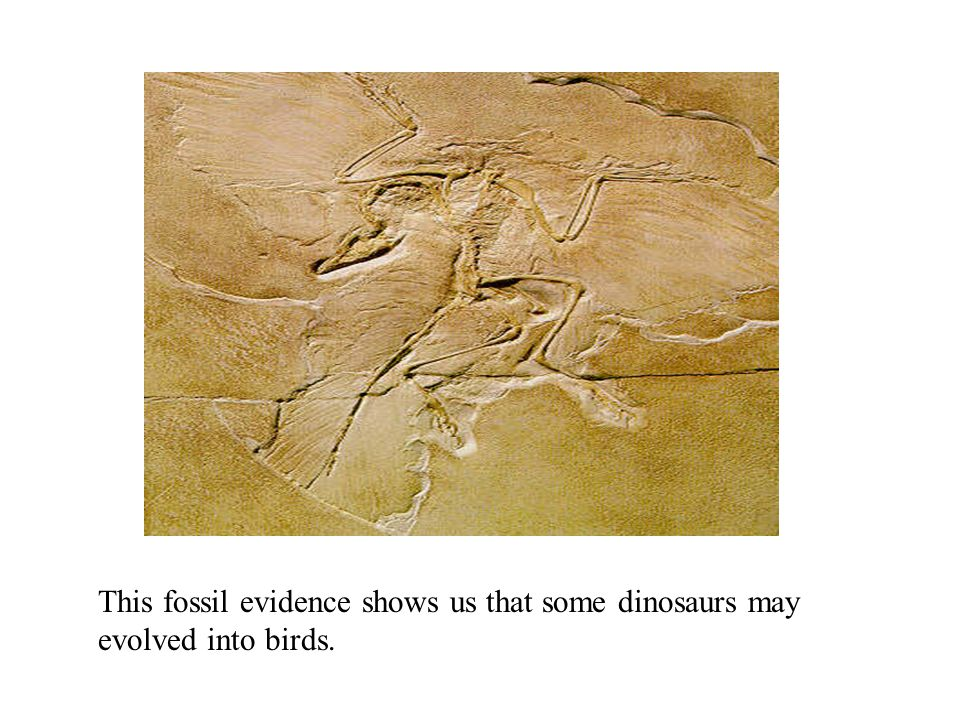 This fossil evidence shows us that some dinosaurs may evolved into birds.