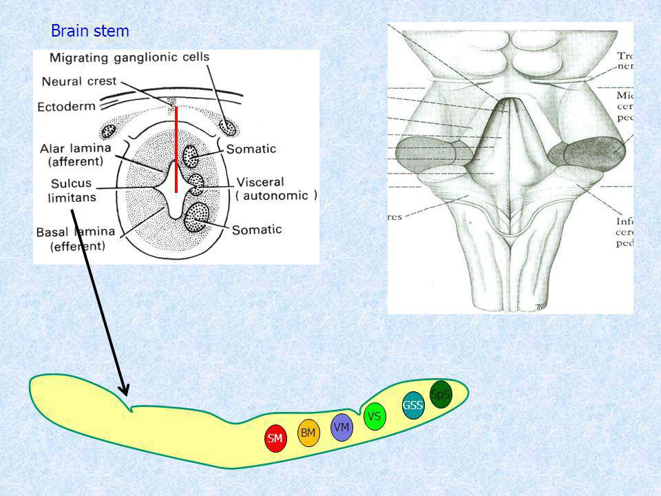 Brain stem SpS GSS SS VS VM BM SM