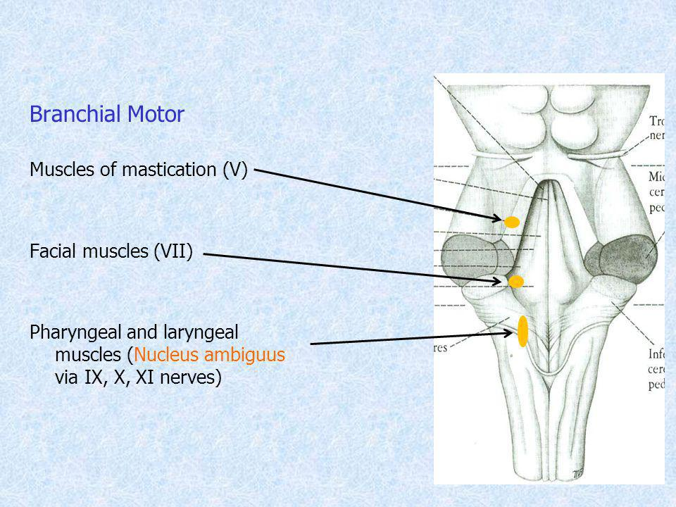 Branchial Motor Muscles of mastication (V) Facial muscles (VII)
