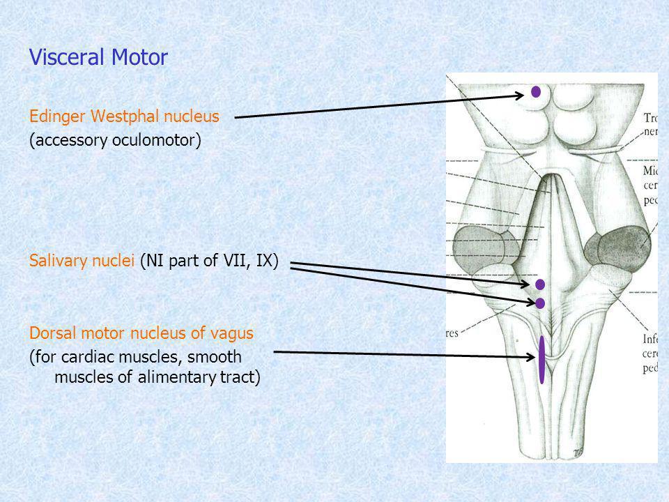 Visceral Motor Edinger Westphal nucleus (accessory oculomotor)