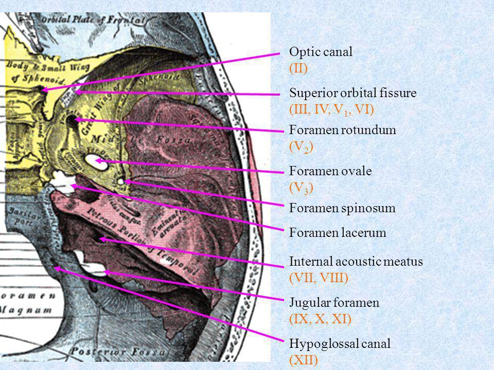Optic canal (II) Superior orbital fissure. (III, IV, V1, VI) Foramen rotundum. (V2) Foramen ovale.