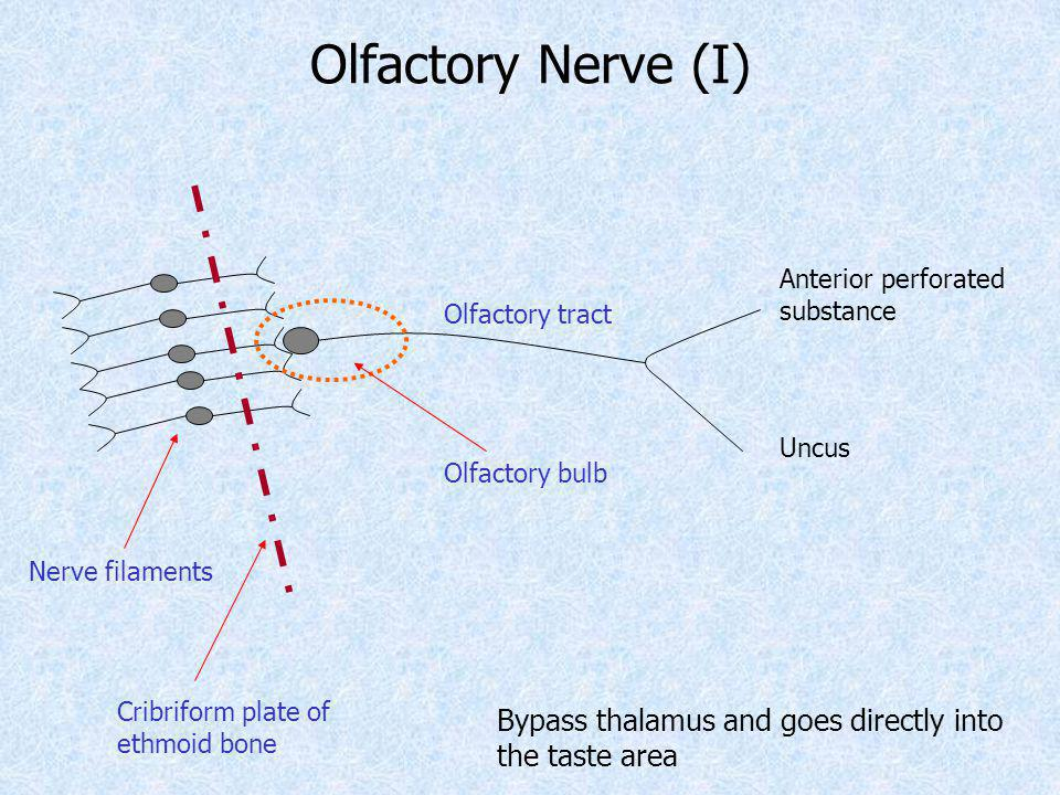 Olfactory Nerve (I) Anterior perforated. substance. Olfactory tract. Uncus. Olfactory bulb. Nerve filaments.