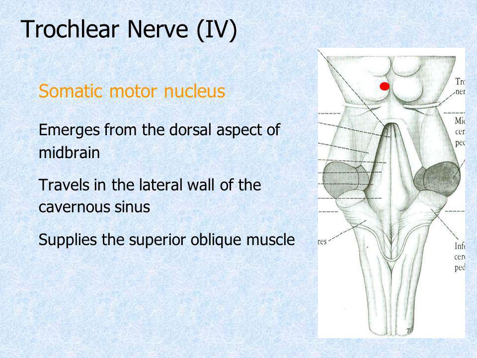 Trochlear Nerve (IV) Somatic motor nucleus