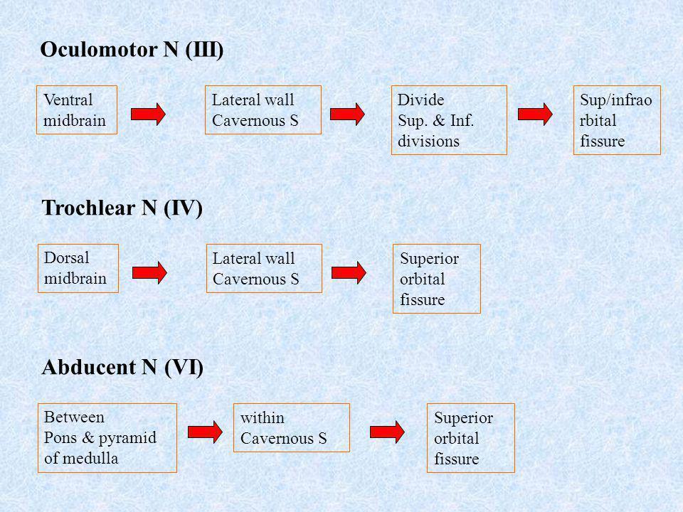 Oculomotor N (III) Trochlear N (IV) Abducent N (VI) Ventral midbrain