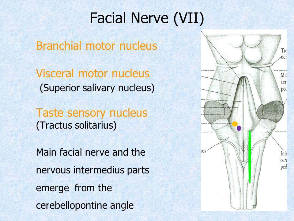 Facial Nerve (VII) Visceral motor nucleus (Superior salivary nucleus)