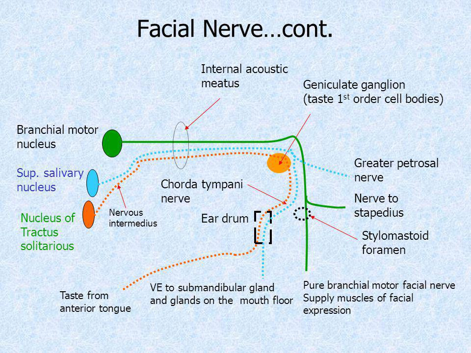 Facial Nerve…cont. Internal acoustic meatus Geniculate ganglion
