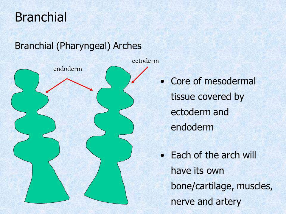 Branchial (Pharyngeal) Arches