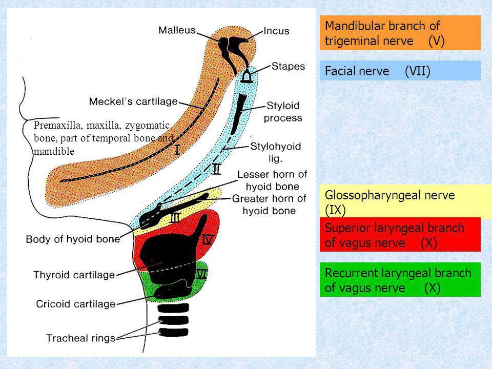 Mandibular branch of trigeminal nerve (V)