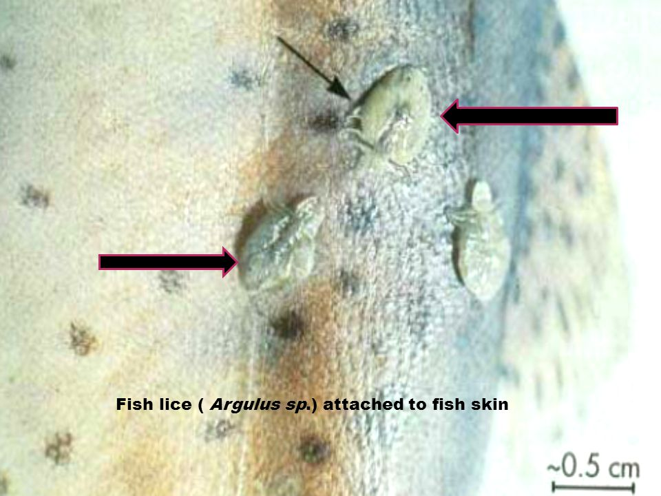 Fish lice ( Argulus sp.) attached to fish skin