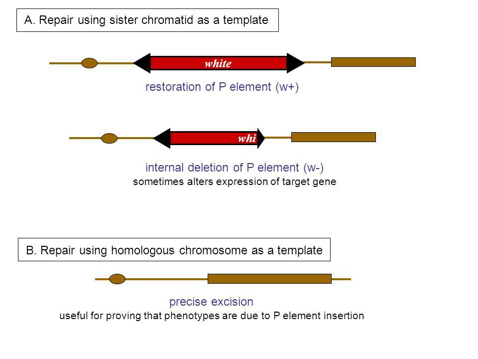 A. Repair using sister chromatid as a template